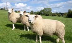 Ekologiskai auginami gyvuliai (7)