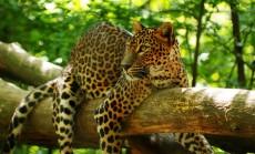jaguaras