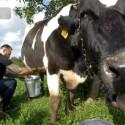 """""""Golden Age"""" prodiuseriui Genadijui teko melžti karvę: """"Nesu buvęs kaime"""""""