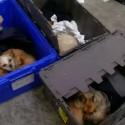 Lietuva ir toliau linksniuojama Didžiosios Britanijos spaudoje – pirmauja pagal šunų kontrabandą į Angliją