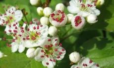 gudobeliu ziedai