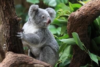 eukaliptas ir zavioji koala
