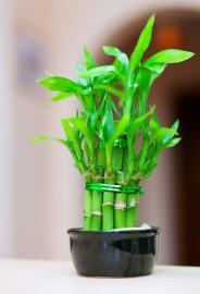 bambukas