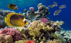 """""""koralinis rifas"""""""