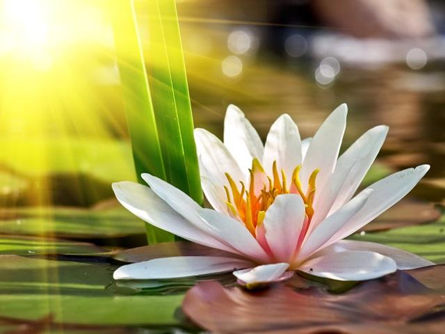 lotusas