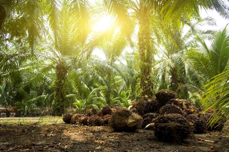 palmiu aliejus
