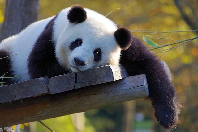 panda-3857754_640