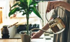 kambariniai augalai