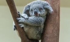 koalos
